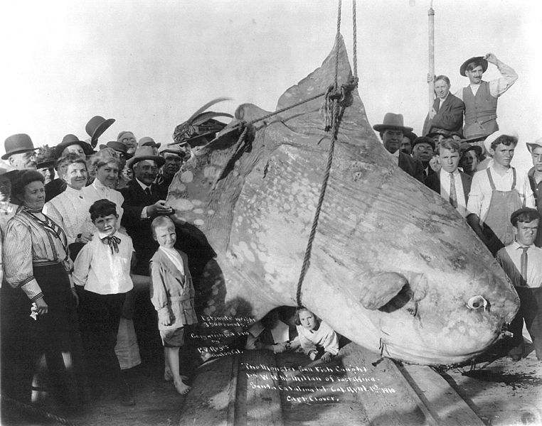 Monster fish 1910
