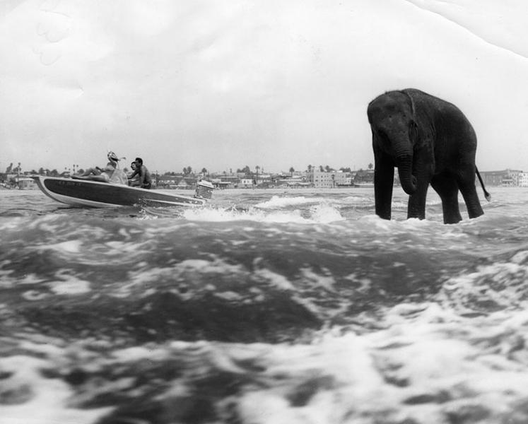 Bimbo, Jr., animal star of the De Wayne Bros. Circus at Pacific Ocean Park, water-skis in Santa Monica on April 28, 1962. (Bizarre Los Angeles)