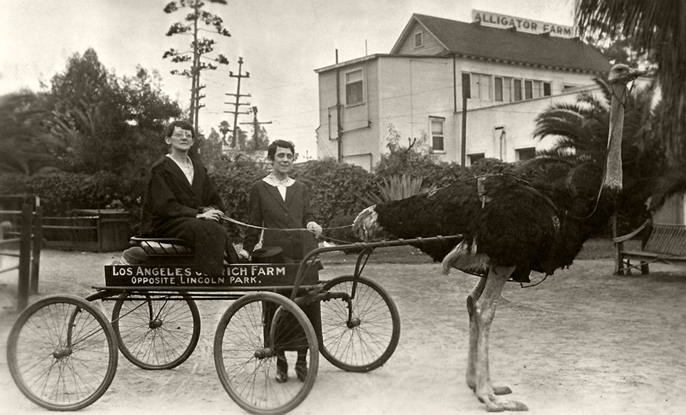 A visit to the Los Angeles Ostrich Farm in the 1910s. (Bizarre Los Angeles)