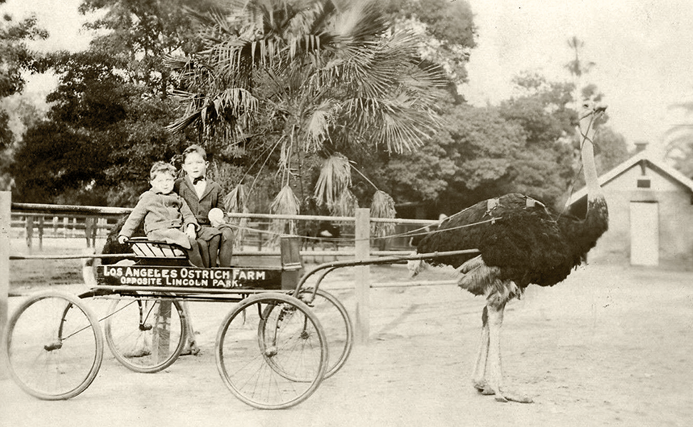 Los Angeles Ostrich Farm 1915