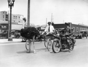 Man receives a traffic ticket from a police officer at 2922 W. Pico Blvd., near Harvard, for riding around in an ostrich drawn cart to generate business. Photo was taken in the 1920s. (LAPL) Bizarre Los Angeles