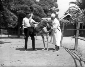 This photograph was taken at an ostrich farm near Lincoln Park in 1929 as a butcher inspects a future drumstick. (Bizarre Los Angeles)