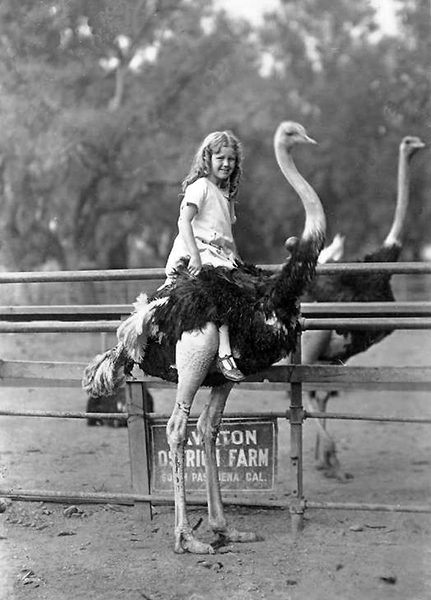 A young girl sits on top of an ostrich at the Cawston Ostrich Farm in South Pasadena. (Bizarre Los Angeles)