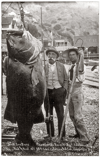 Catalina Island Sea Bass 1900